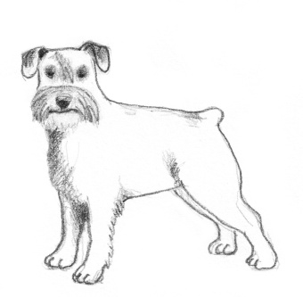 dog-sketches-schnauzer