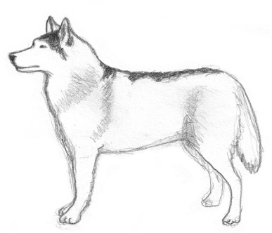 dog-sketches-siberian-husky